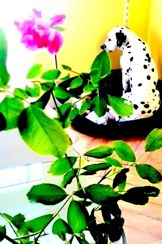 Boudin de dalmatien