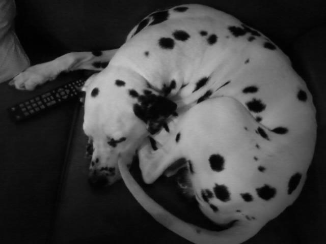 Télécommande canine